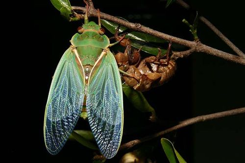 Green Grocer Cicada | Cyclochila australasiae photo
