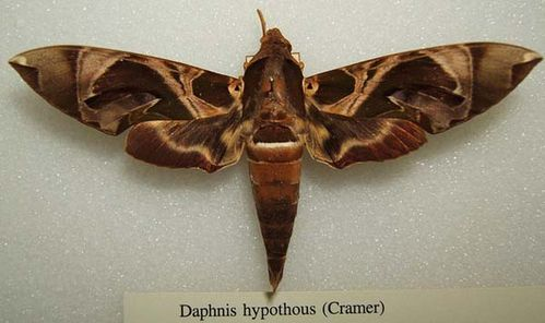 Hawk Moth | Daphnis hypothous photo