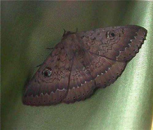 Southern Old Lady Moth | Dasypodia selenophora photo