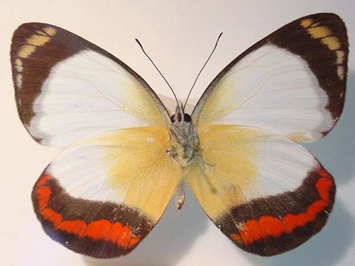 Red-banded Jezebel | Delias mysis photo