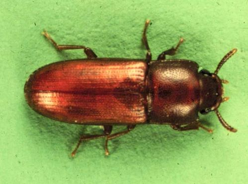 Depressed Flour Beetle | Palorus subdepressus photo