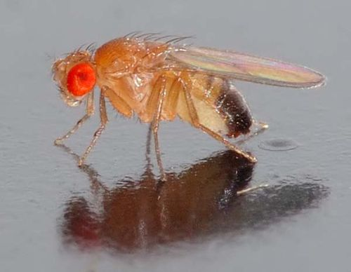 Common Vinegar Fly | Drosophila melanogaster photo