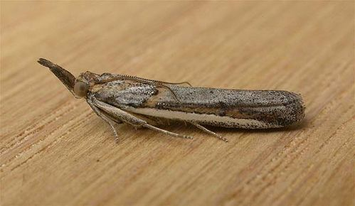 Lucerne Seed Web Moth | Etiella behrii photo