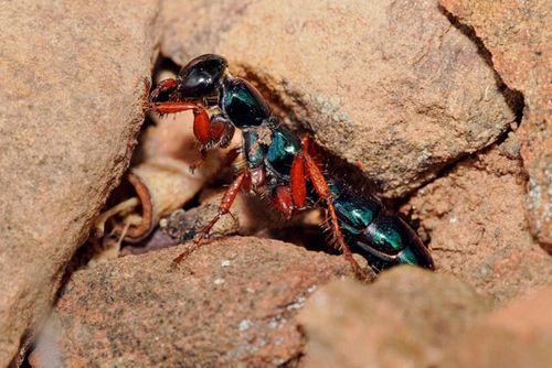 Blue Ant | Diamma bicolor photo