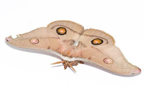 Emperor Gum Moth | Opodiphthera eucalypti photo