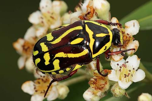 Fiddler Beetle | Eupoecila australasiae photo