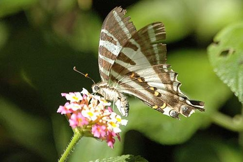 Four-barred Swordtail | Protographium leosthenes photo