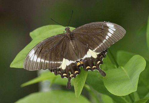 Fuscous Swallowtail | Papilio fuscus photo