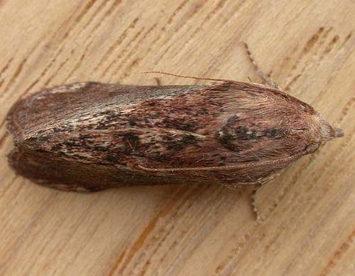 Greater Wax Moth | Galleria mellonella photo