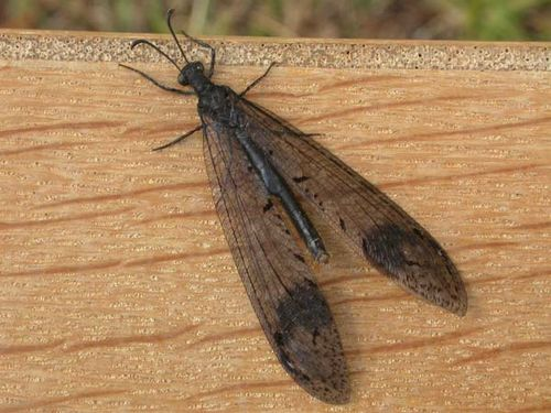 Antlion Lacewing | Glenoleon falsus photo
