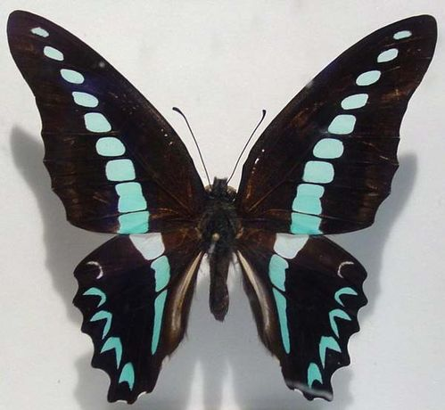 Blue Triangle | Graphium sarpedon photo