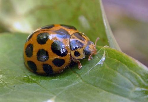 Common Spotted Ladybird | Harmonia conformis photo