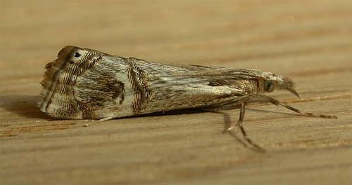 Pasture Webworm | Hednota longipalpella photo