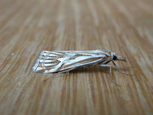 Webworm | Hednota pleniferellus photo