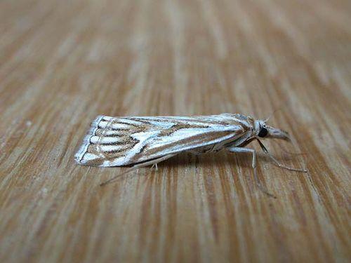 Webworm | Hednota pleniferellus photo
