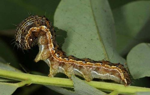 Cotton Bollworm | Helicoverpa armigera photo