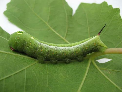 Vine Hawk Moth | Hippotion celerio photo