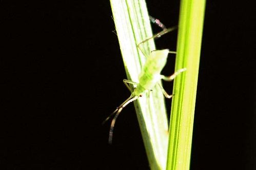Mealy Plum Aphid | Hyalopterus pruni photo