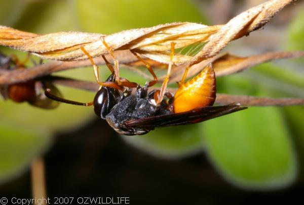 Potter Wasp | Paralastor sp photo