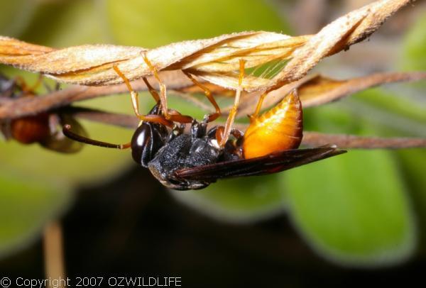 Potter Wasp | Paralastor sp photo