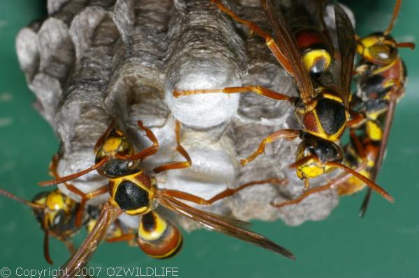 Paper Wasp | Polistes sp photo