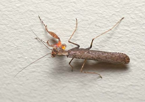 Boxer Bark Mantid | Paraoxypilus sp photo