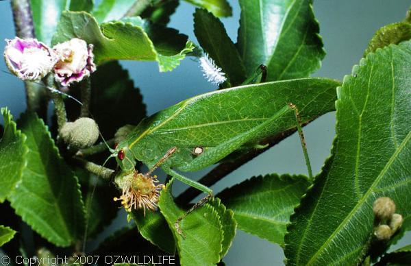 Gum Leaf Katydid   Torbia viridissima photo
