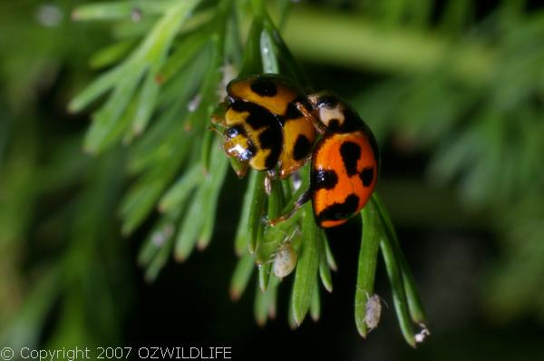 Variable Ladybird | Coelophora inaequalis 1 photo