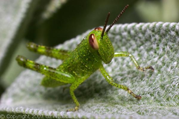 Hedge Grasshopper | Valanga irregularis photo