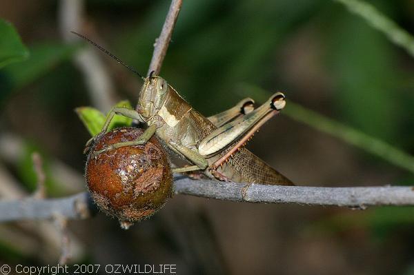 Hedge Grasshopper   Valanga irregularis photo