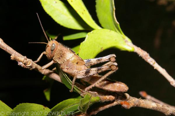 Hedge Grasshopper | Valanga irregularis photo