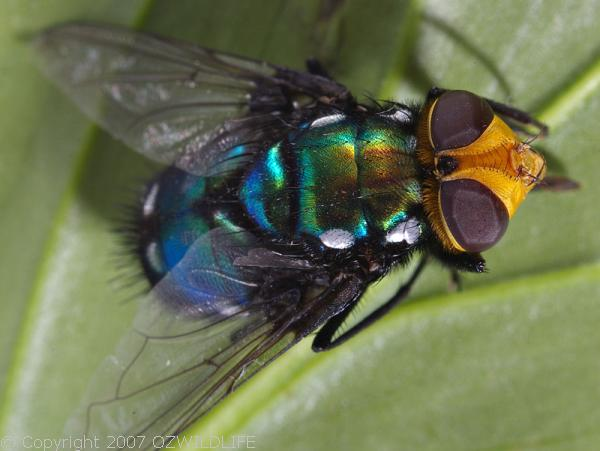Snail Parasite Blowfly   Amenia imperialis photo