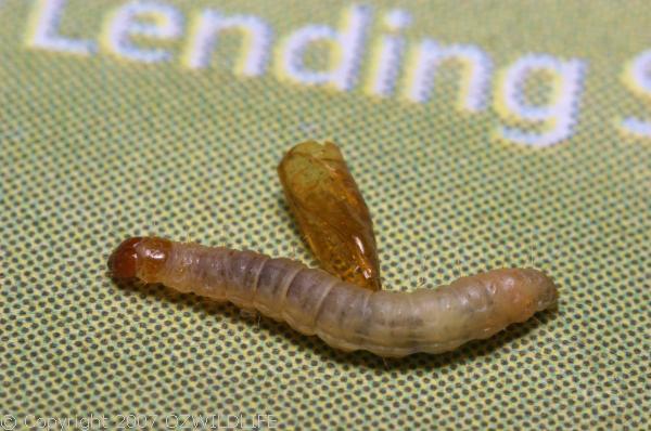 Indian Meal Moth   Plodia interpunctella photo
