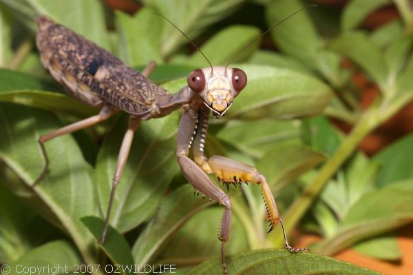 Burying Mantis | Sphodropoda tristis photo