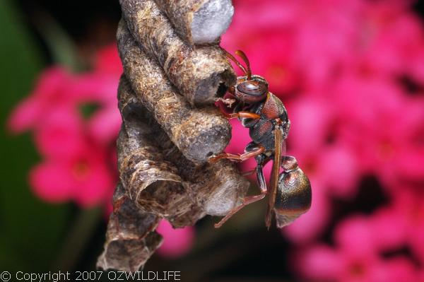 Paper Wasp | Ropalidia revolutionalis photo