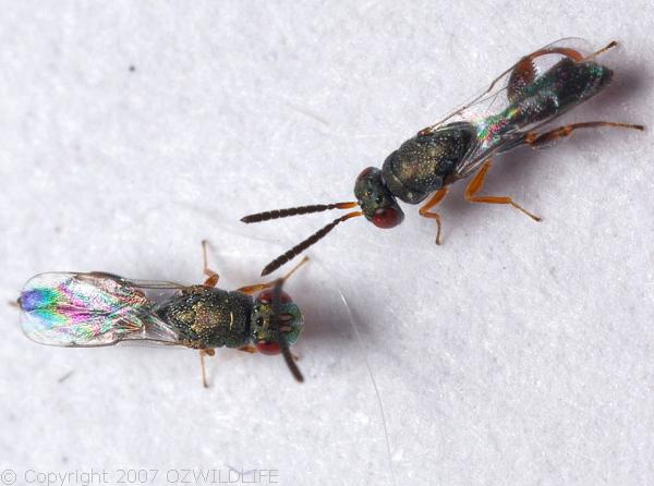 Mantis Parasitic Wasp | Podagrion sp photo