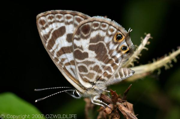 Zebra Blue Butterfly | Leptotes plinius photo