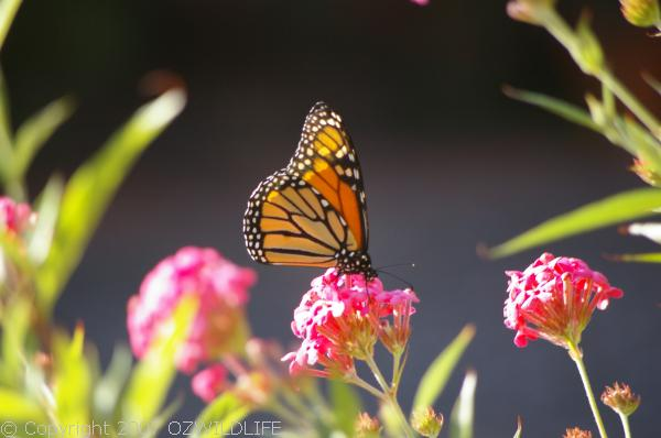 Wanderer Butterfly | Danaus plexippus photo