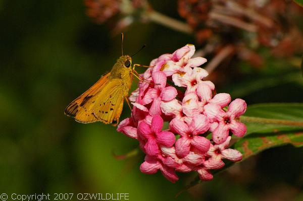 Orange Palm Dart Butterfly | Cephenes augiades photo