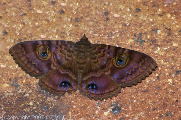 Granny's Cloak Moth   Speiredonia spectans photo