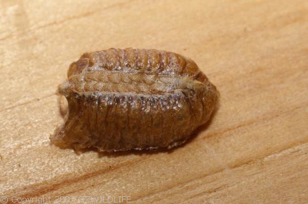 Garden Mantis   Orthodera ministralis photo