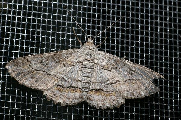 no common name | Cleora displicata photo