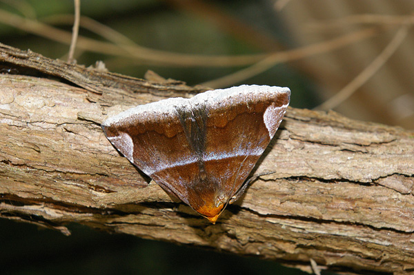 Owlet Moth | Dysgonia propyrrha photo