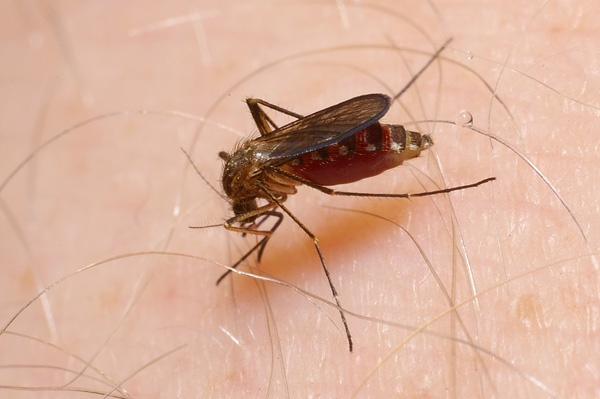 Mosquito | Culicidae family  photo