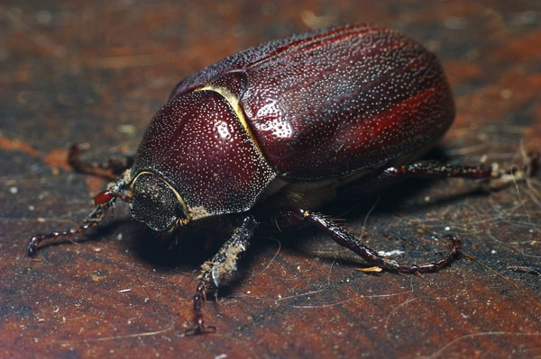Brown Cockchafer | Rhopaea magnicornis photo
