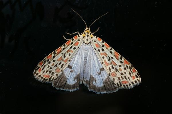 Salt and Pepper Moth | Utetheisa lotrix photo