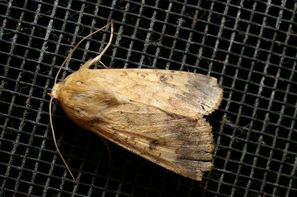 Native Budworm, Heliothis punctigera | Helicoverpa punctigera photo