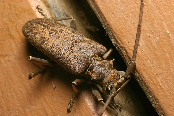Longicorn Beetle   Cerambycidae family  photo