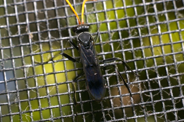 Spider Wasp | Pompilidae family  photo