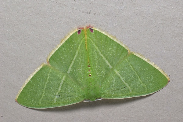 Emerald Moth | Chlorocoma sp photo